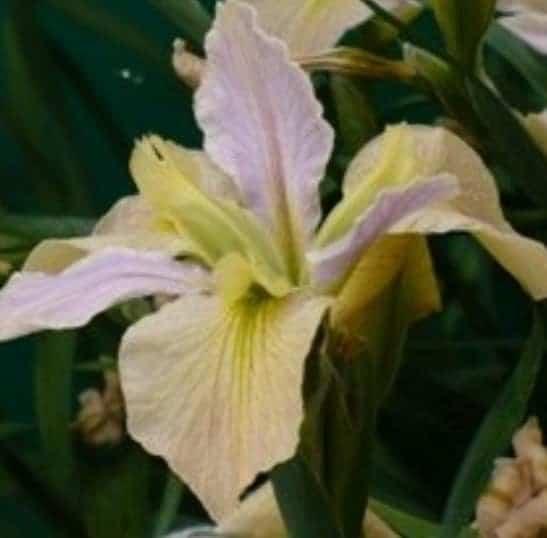 Louisisiana iris