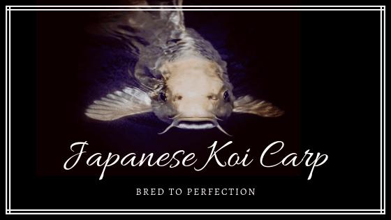 Japanese Koi Carp banner