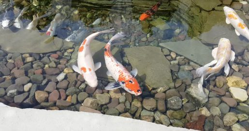 Backyard Water Garden Visits The Koi Pond Supply Store