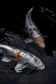 Japanese Koi carp