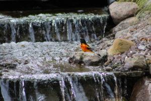 Oriole bathing in the backyard waterfall