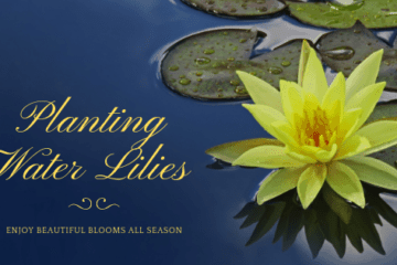 Planting water lilies banner