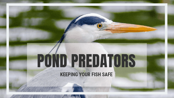 keep your pond fish safe from predators