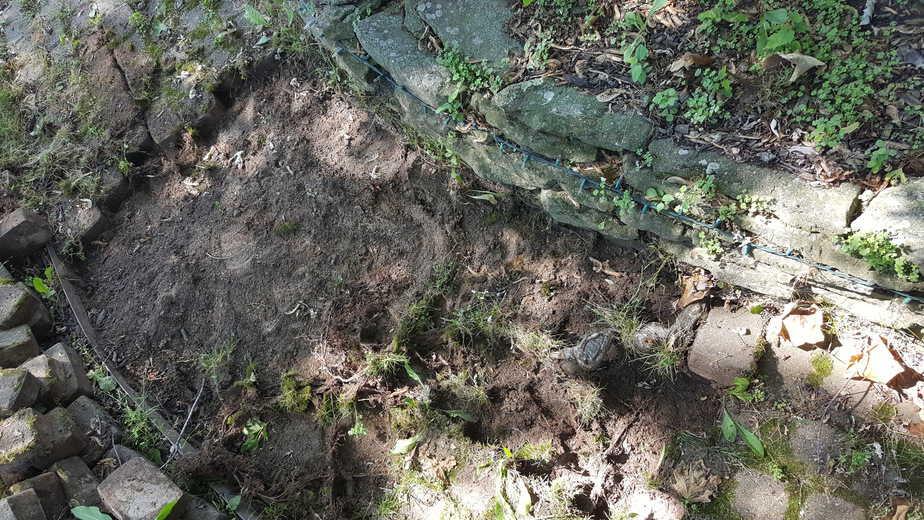 roots under a brick walk