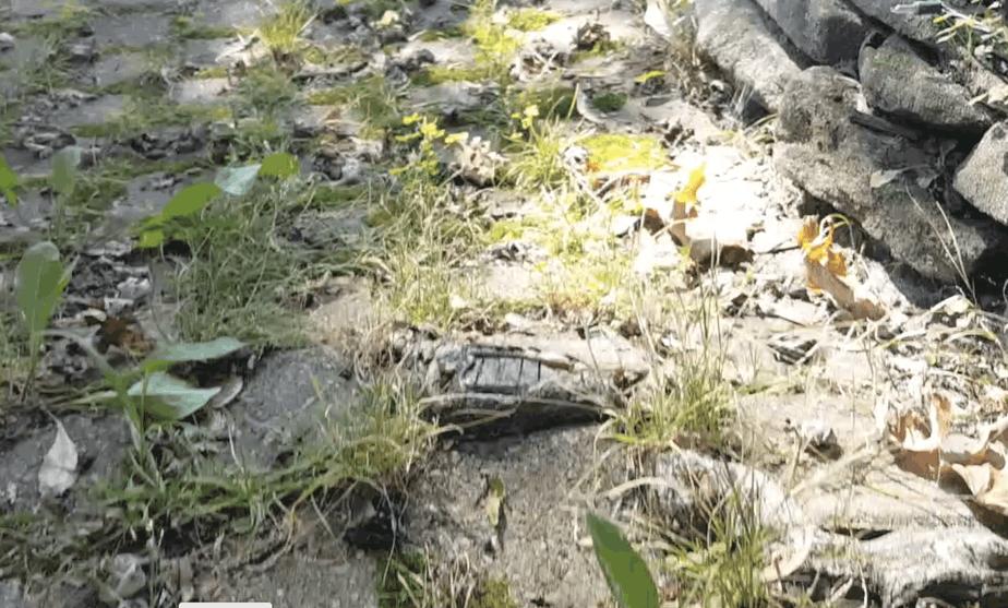 roots coming through a brick walk
